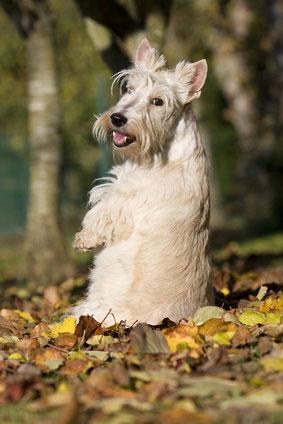 Der Scottish Terrier hat ein selbsbewusstes Wesen.