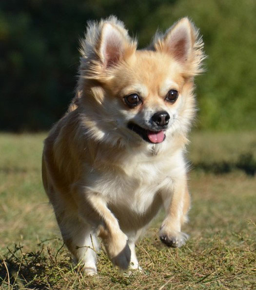 Pictures Of Jack Russell Chihuahua Mix Dogs