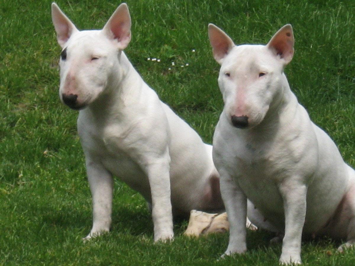 Miniatur Bullterrier Charakter Wesen Hunde Fande