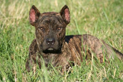 Der Alano Espagnol ist mit der Dogge verwandt und von kräftiger Statur.