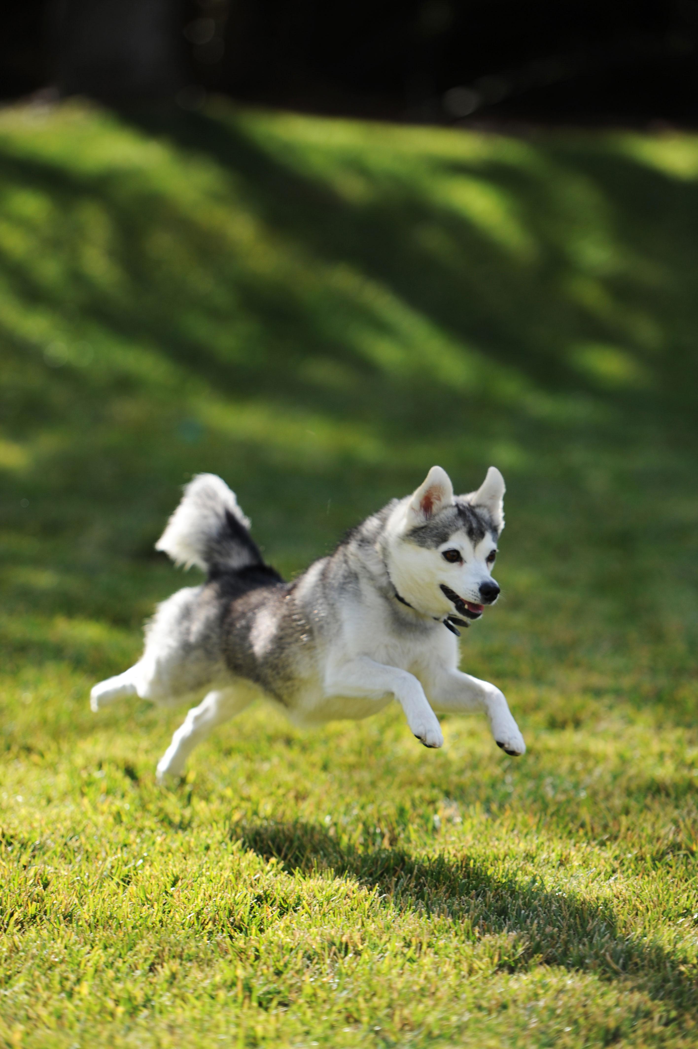 Der Alaskan Klee Kai kann auch in einer kleineren Wohnung gehalten werden.