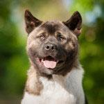 Portrait of  funny american akita dog