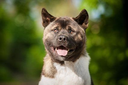 Der American Akita eignet sich auch als Rettungshund.
