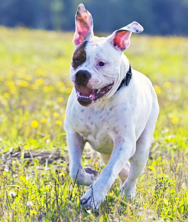 American Bulldogs sind kraftvoll und athletisch und brauchen eine konsequente Erziehung.
