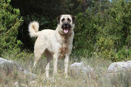 Anatalische Hirtenhunde sind sehr wachsam und brauchen eine konsequente Erziehung.