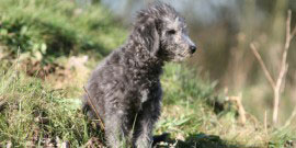chiot bedlington terrier assis sagement  la campagne