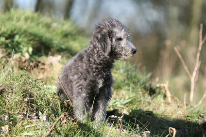 Bedlington Terrier besitzen einen starken Jagdinstinkt.