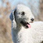 portrait d'un bedlington terrier blanc adulte  la campagne