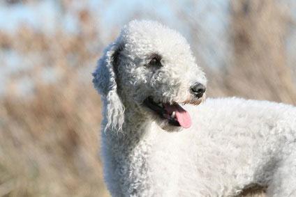 Der Bedlington Terrier erinnert an ein Schaf.