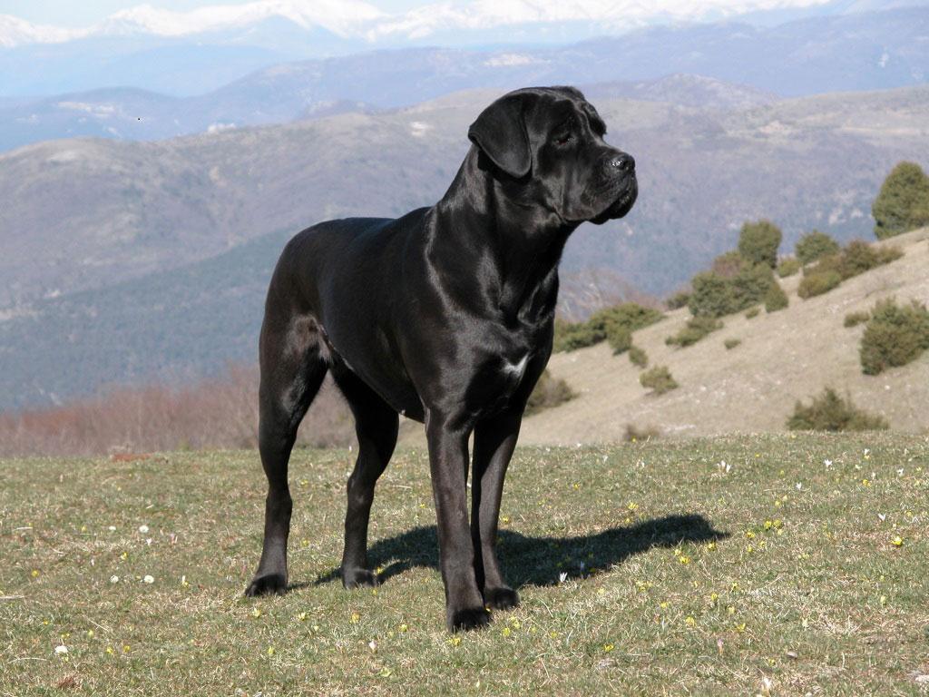 Der Cane Corso ist ein sehr guter Wachhund, der sein Rudel bis aufs Äusserste verteidigt.