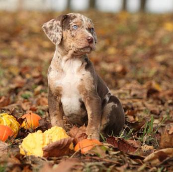 Catahoula Leopard Dogs besitzen einen sehr guten Geruchssinn.