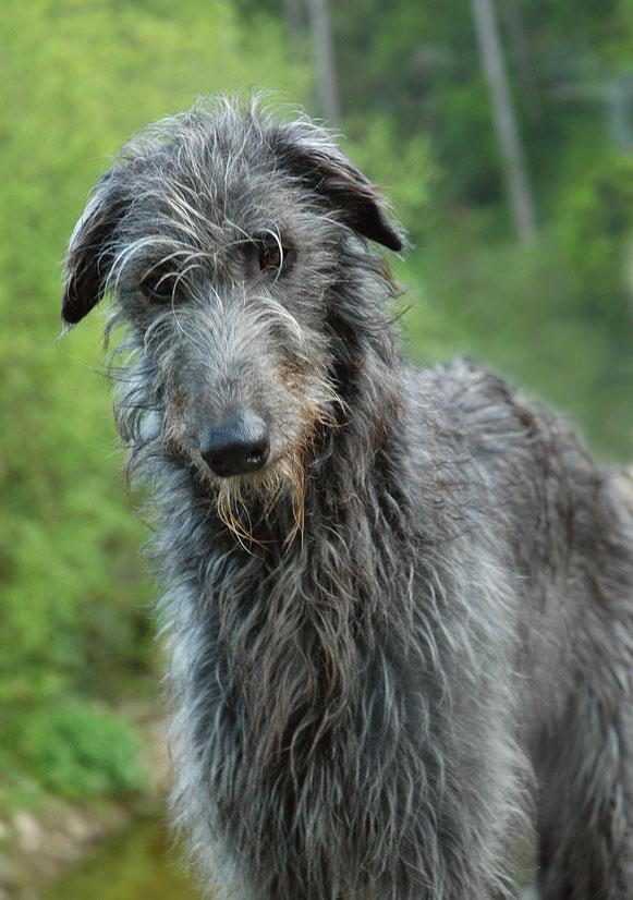 Der Deerhound ist eine Windhund mit sanftem und ausgeglichenem Wesen.