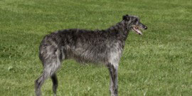 Deerhound in long grass