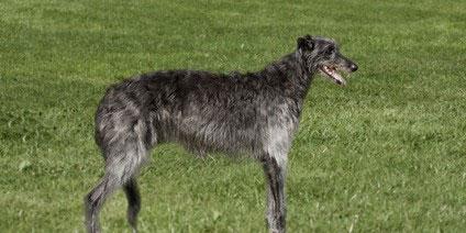 Deerhound in long grass