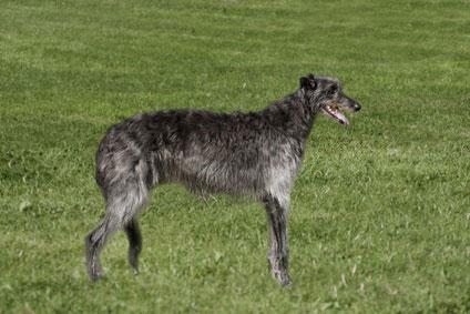 Von aristokratischer Natur - der Deerhound