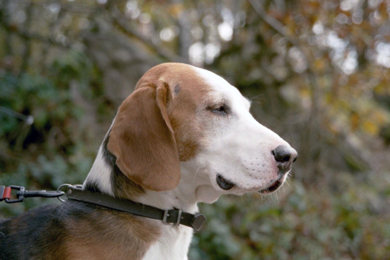 Die Deutsche Bracke eignet sich bei genügend Auslastung auch als Familienhund.