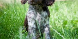 Deutscher Wachtelhund Welpe 004