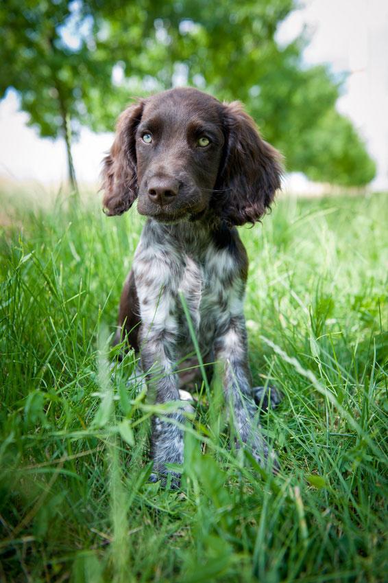 Ein Deutscher Wachtelhund sollte nur in erfahrene Hände von Jägern und Förstern gelangen.