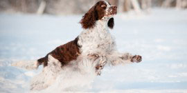 springer spaniel dog jumping and running in the snow