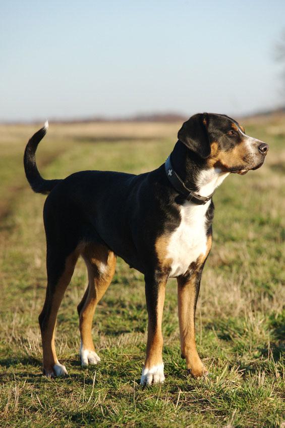 Der Große Schweizer Sennenhund ist ein sehr guter Wachhund