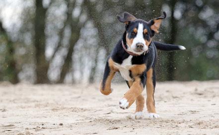 Der gutmuetige Grosse Schweizer Sennenhund eignet sich auch als Familienhund.