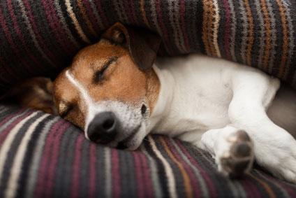 Auch ein Jack Russell kommt in einer gemütlichen Hundedecke mal zur Ruhe.