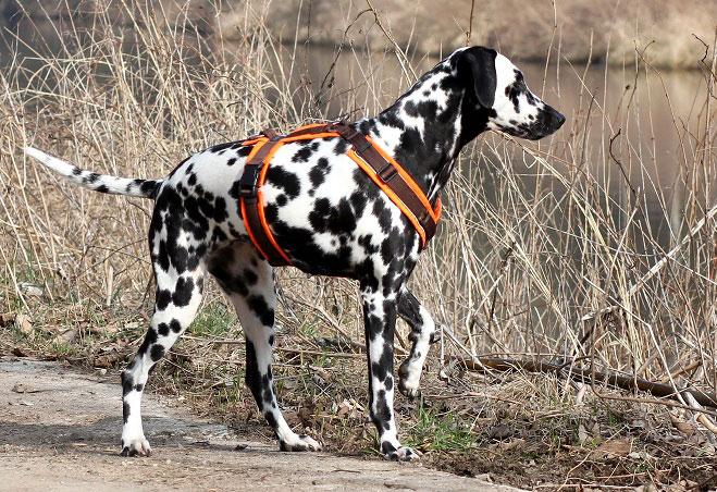 Dalmatiner mit Hundegeschirr.
