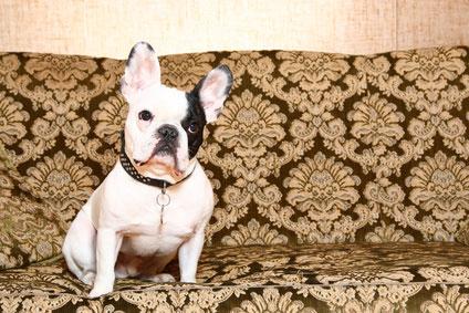 Eine französische Bulldogge auf dem Hundesofa.