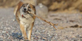 Islandhund Charakter