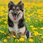Junger Islandhund sitzt in einer Wiese mit blühendem Löwenzahn