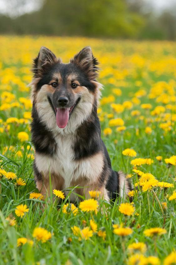 Der Islandhund ist die einzige Rasse, die ursprünglich aus Island stmmt