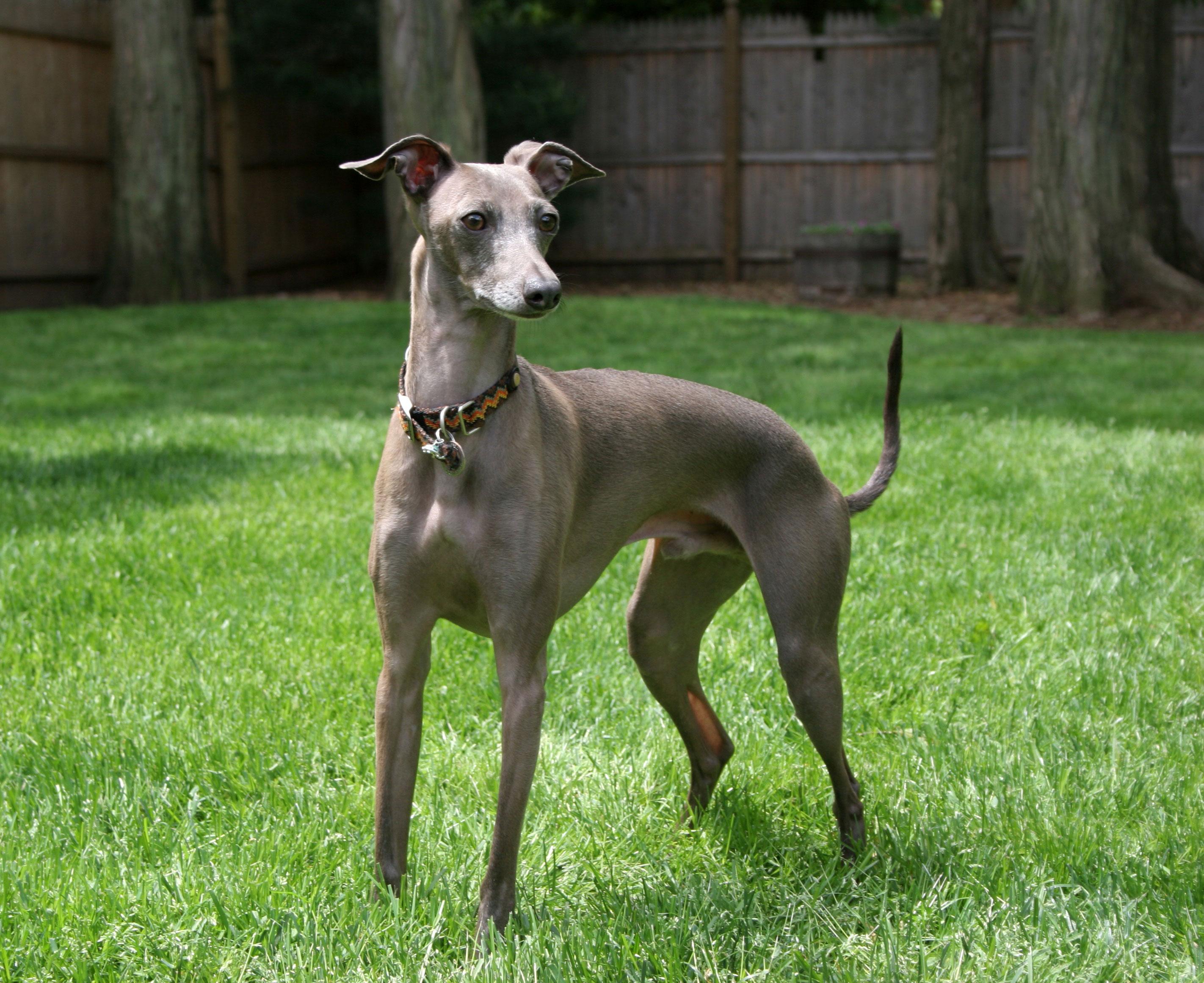 Das Italienische Windspiel wird auch Italian Greyhound genannt.