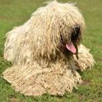 Komondor Dog Breeds