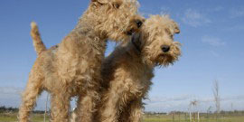 two  lakeland terrier