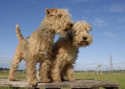 Lakeland Terrier eignen sich auch als Wachhunde und gelten als kinderlieb.