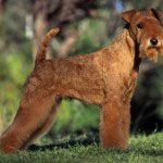 lakeland terrier