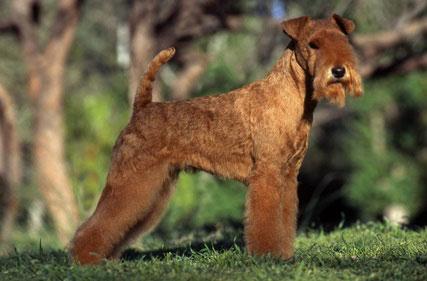 Früher wurde der Lakeland Terrier zur Jagd auf Füchse eingesetzt.