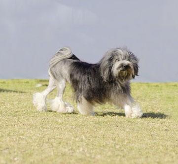 Loewchen, auch petit chien lion genannt, lassen sich leicht erziehen.