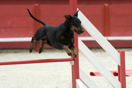 Der Manchester Terrier will beschäftigt werden - besonders geeignet ist hier die Hundesportart Agility.