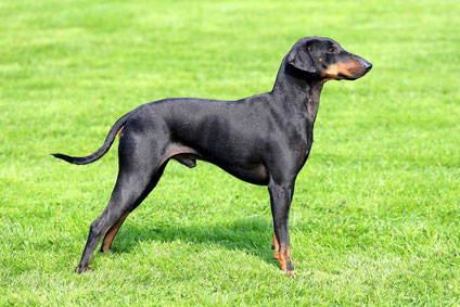 manchester terrier charakter wesen hunde. Black Bedroom Furniture Sets. Home Design Ideas