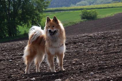 Mittelspitze sind wie alle Spitze sehr kinderlieb und eigen sich gut als Familienhunde.