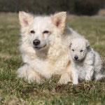 chien et chiot mudi blancs couch de face dans l'herbe - famille