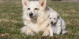 chien et chiot mudi blancs couch de face dans l'herbe – famille