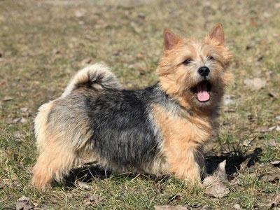 Der Norwich Terrier hat eine quirliges Temperament und eignet sich für Hundesportaretn wie Agility
