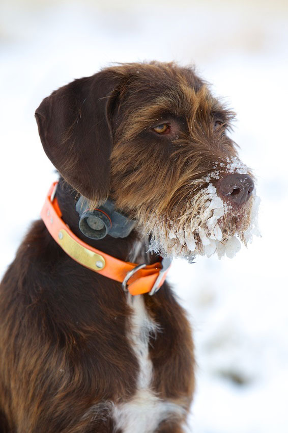 Pudelpointer sind lernfähige Hunde mit starkem Jagdtrieb.