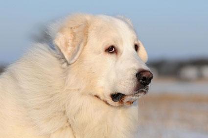 Pyrenaeenberghunde sind gute Wachhunde.
