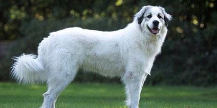 Pyrenen Berghund