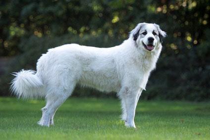 Der Pyrenäen Berghund gilt als kinderlieb und gutmütig.