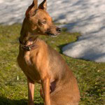 russian shorthair toy terrier sitting on the herb