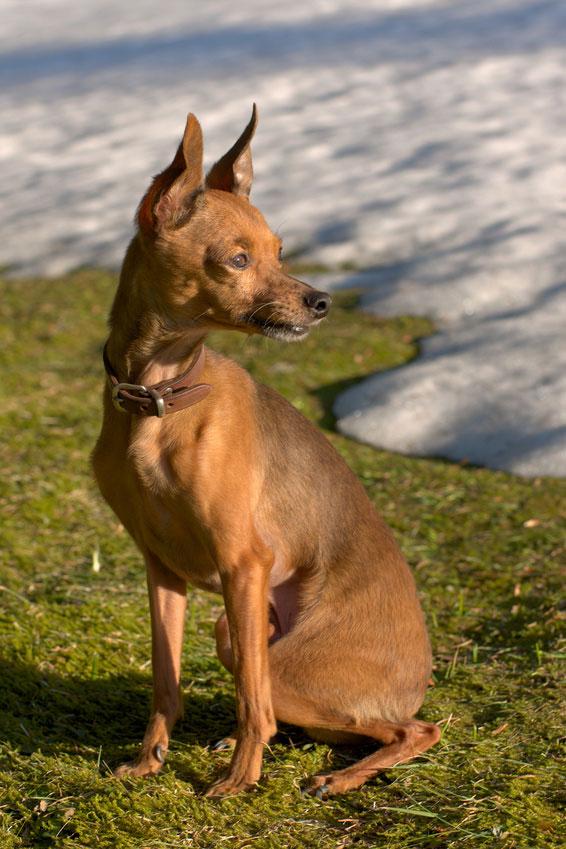 Ein kurzhaariger Russkiy Toy Terrier.